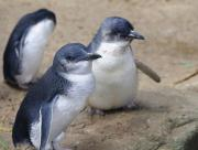 Victoria Region - Phillip Island, Fairy Penguins