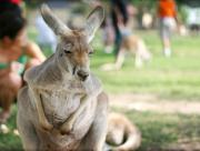 Kangaroo at Melbourne Zoo